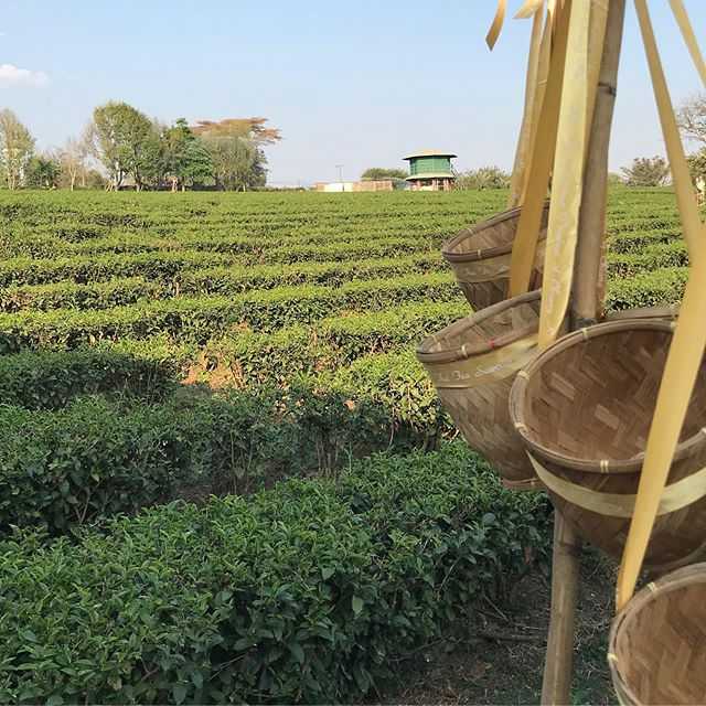Did you know our tea comes from a female run farm in Thailand? Each leaf hand picked, with some amazing smiles! Try it Iced this summer #icetea #tea @teemateas