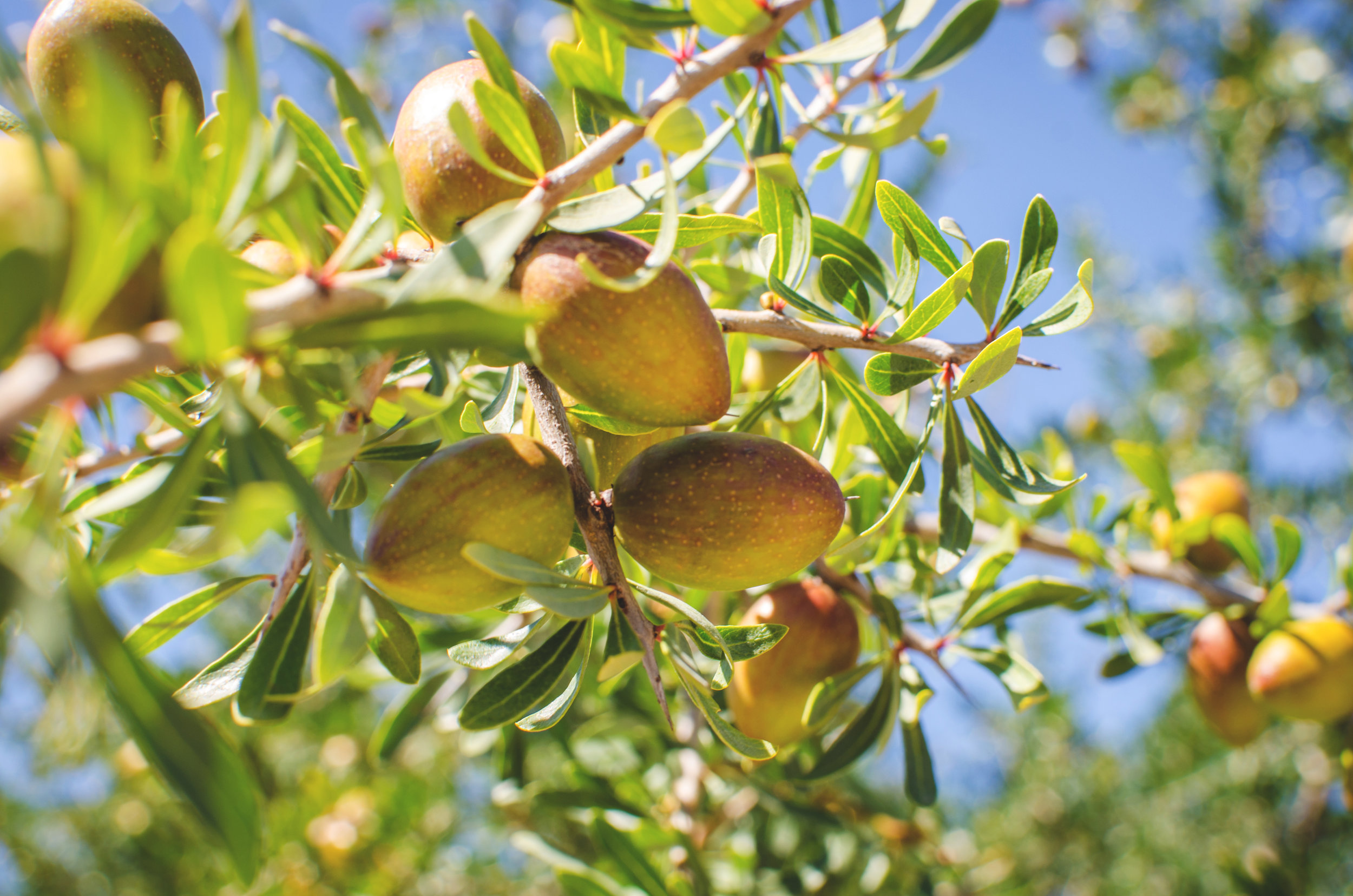 ACEITE DE ARGÁN  Se extrae de las semillas del fruto de la Argania spinosa o árbol de argán, una especie endémica de Marruecos. Se consume como parte de la dieta y es utilizado por sus por sus propiedades benéficas para la piel y el cabello. Brinda protección contra los rayos UV y se le atribuyen cualidades antiinflamatorias, antisépticas y antioxidantes.