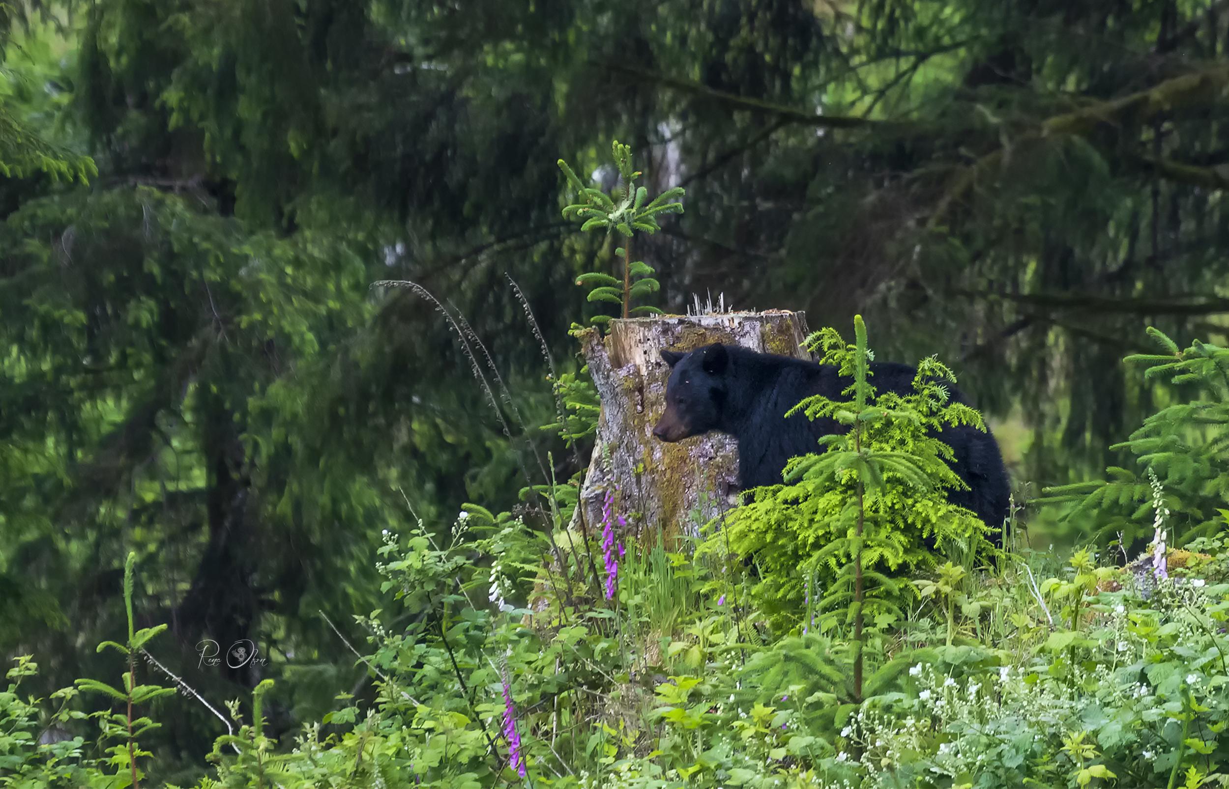 IMG_2344-yakona-black-bear-rena a.jpg