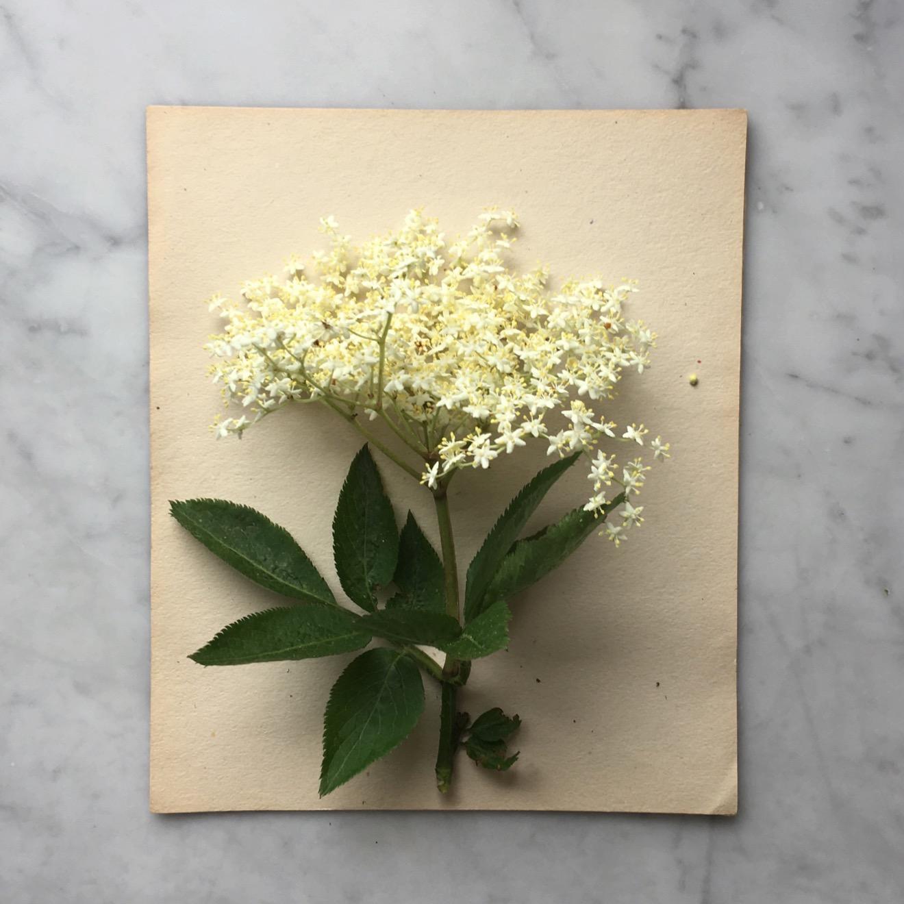 Elderflower.jpg