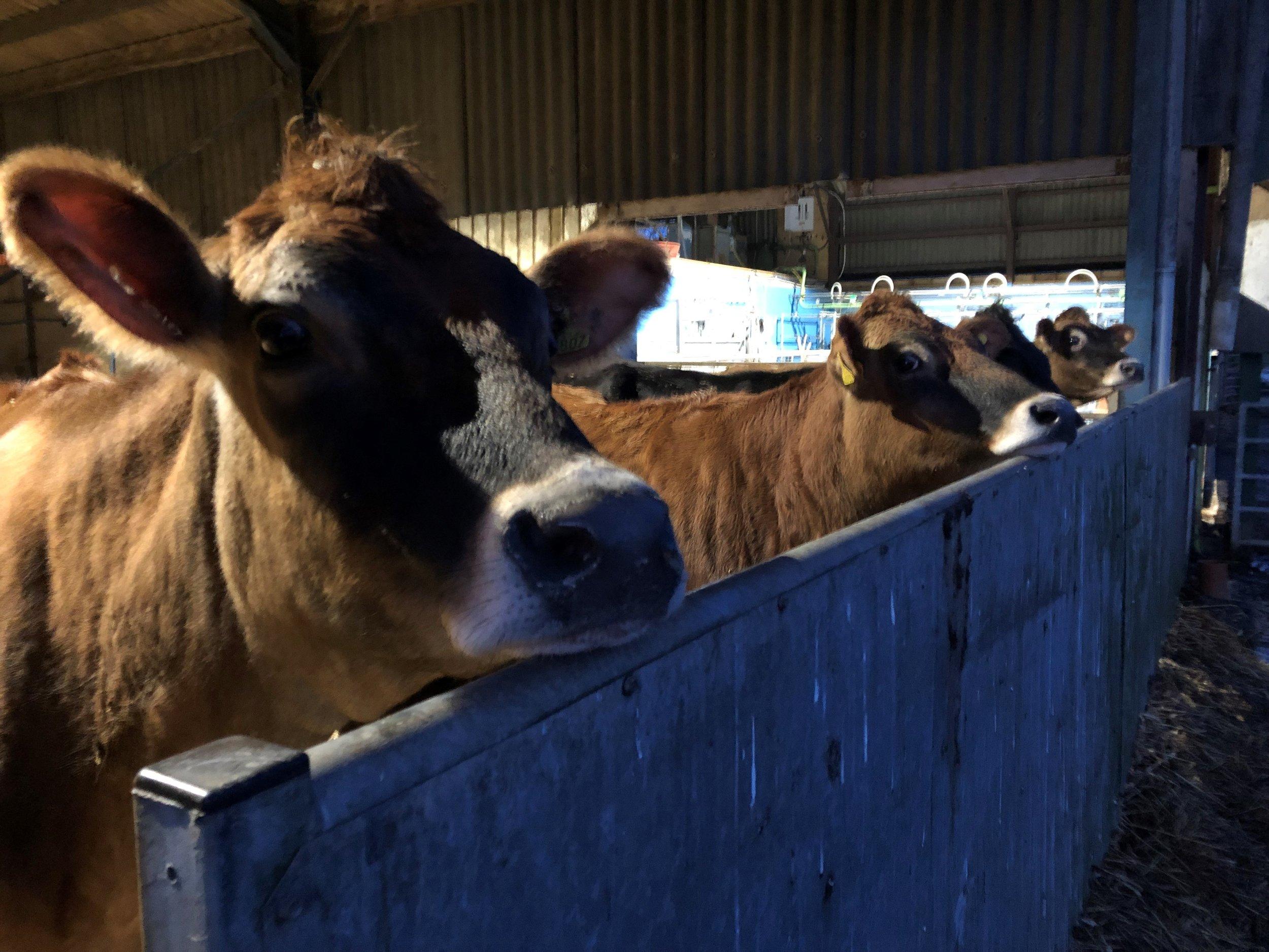 FARM JERSEY COW.jpg