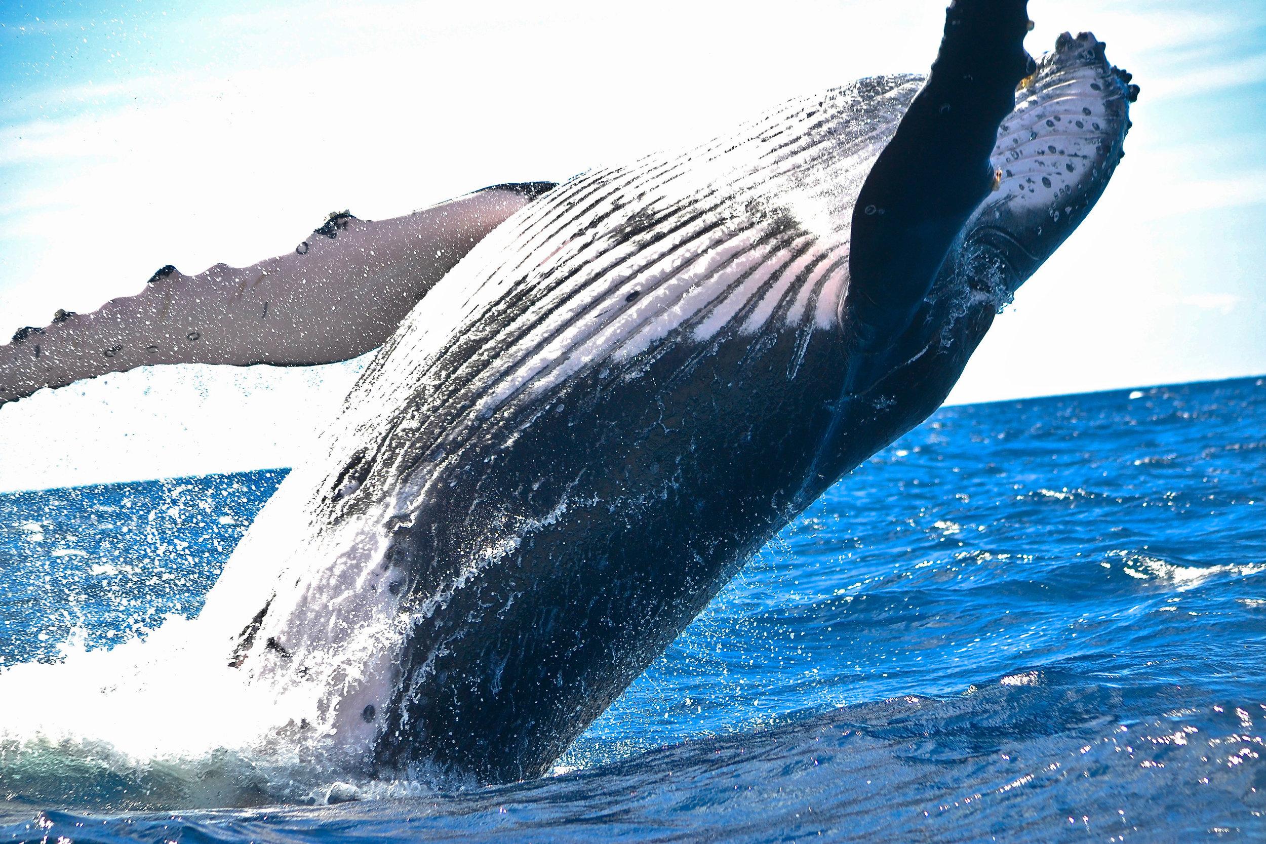 humpback-whale-jumping-Megaptera-novaeangliae.jpg