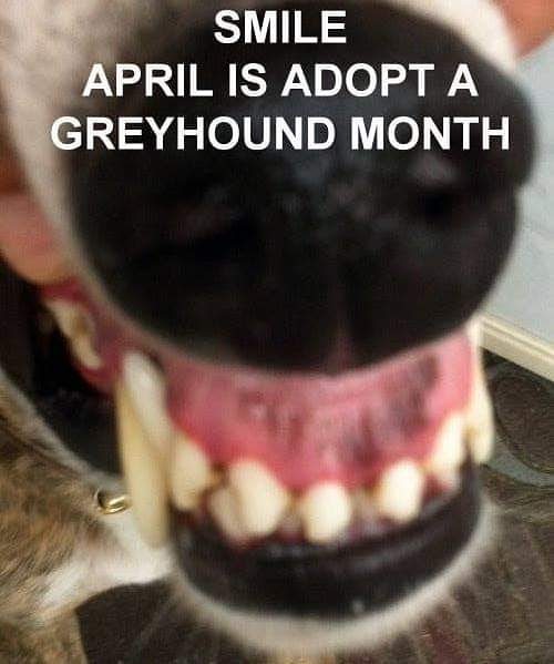 You know what they say: Adopt a Greyhound, lose a couch! April is #adoptagreyhound month and we're here to spread the word! Check out those chompers! . . . #adoptdontshop #lovegreyhounds #boop #45mileanhourcouchpotato #cgap #campgreyhoundadoption #campgreyhound #greyhoundsofinstagram