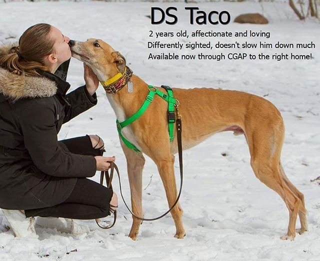 DS Taco is a sweet and loving boy who has some eye sight issues. We're looking for his perfect #fureverhome with someone who has experience. Reach out to  @campgreyhoundadoption if you'd like to know more. . . . #adoptagreyhound #lovefawngreyhounds #45mileanhourcouchpotato #adoptdontshop #campgreyhoundadoption #greyhoundsofinstagram #lovegreyhounds #adoptagreyhoundloseacouch