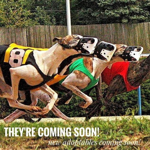 We're #excited! New Canadians #comingsoon to #cgap! . . . #adoptagreyhoundloseacouch #racingPROud #retiredworkingdog #retirednotrescued #greyhounds #greyhoundadoption