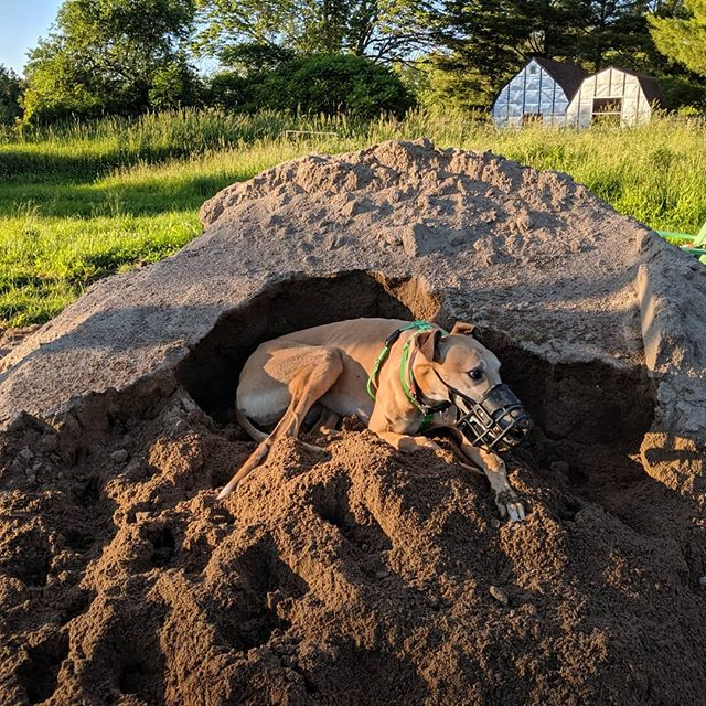I'm the king of the castle.... . . . #tacothegreyhound #winning #adoptagreyhoundloseacouch #sandpileking #adoptdontshop #CGAP