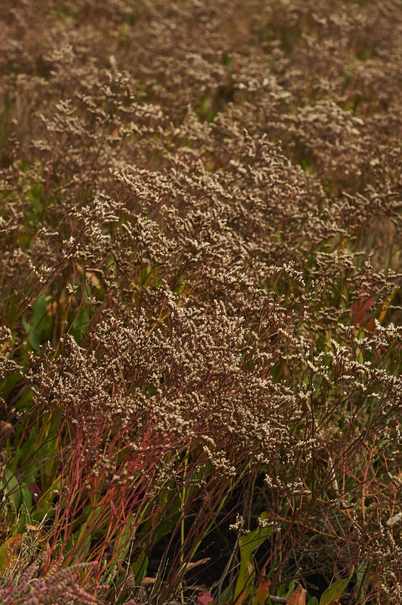 Limonium on autumn season