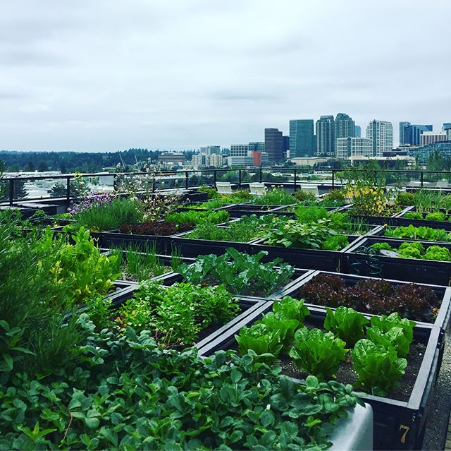 Green thumb or putting green? You can do both at Sparc Apartments in #Bellevue. Couldn't resist this rooftop view! . . . . . . . #seattlehomes #seattleapartments #seattleapartmenthunting #apartmentsforrent #apartmentliving #rooftoplife #seattleapartmentsforrent #seattleapartmentlocater #forsale #realestate #bellevue #bellevueapartments #bellevuelife #forrent