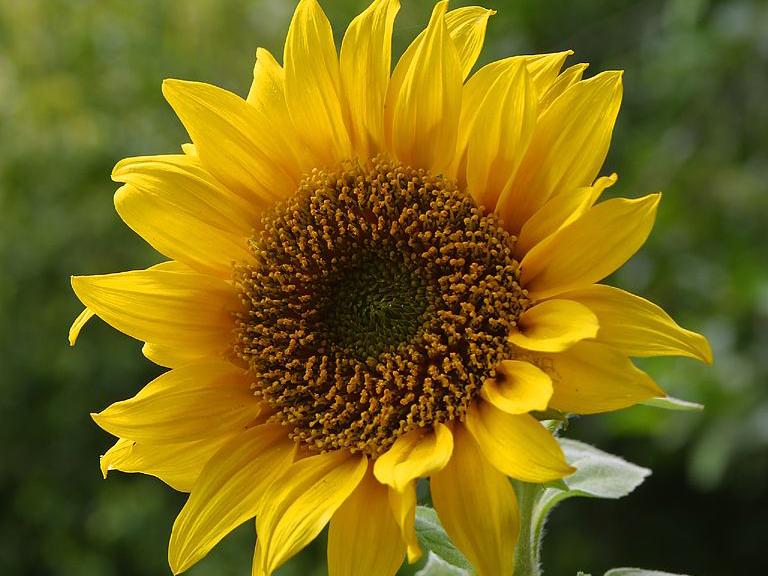 sunflowerchallengeawamu.jpg