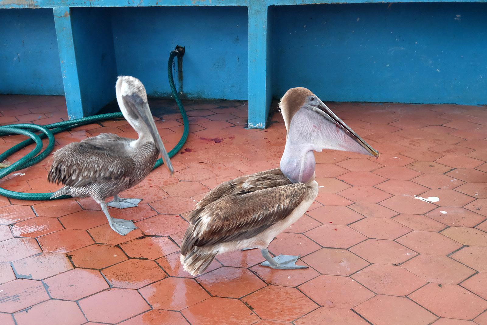 Santa_Cruz_06_pelicanos.JPG