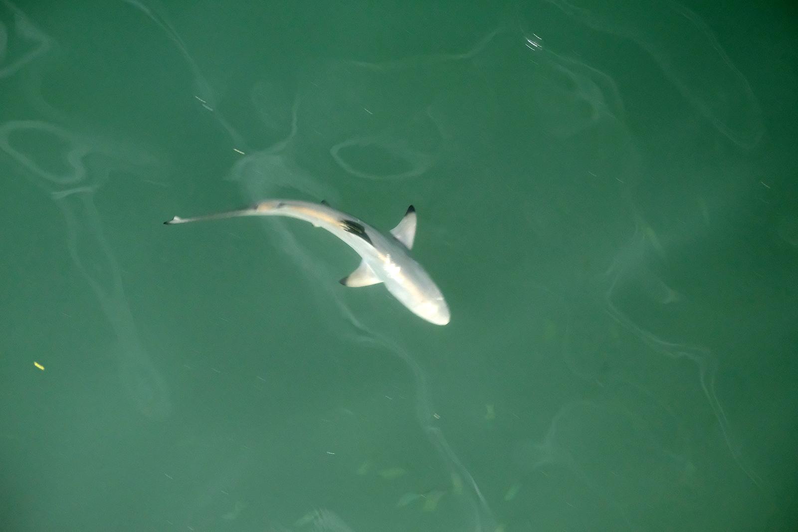 Santa_Cruz_07_tiburones.JPG
