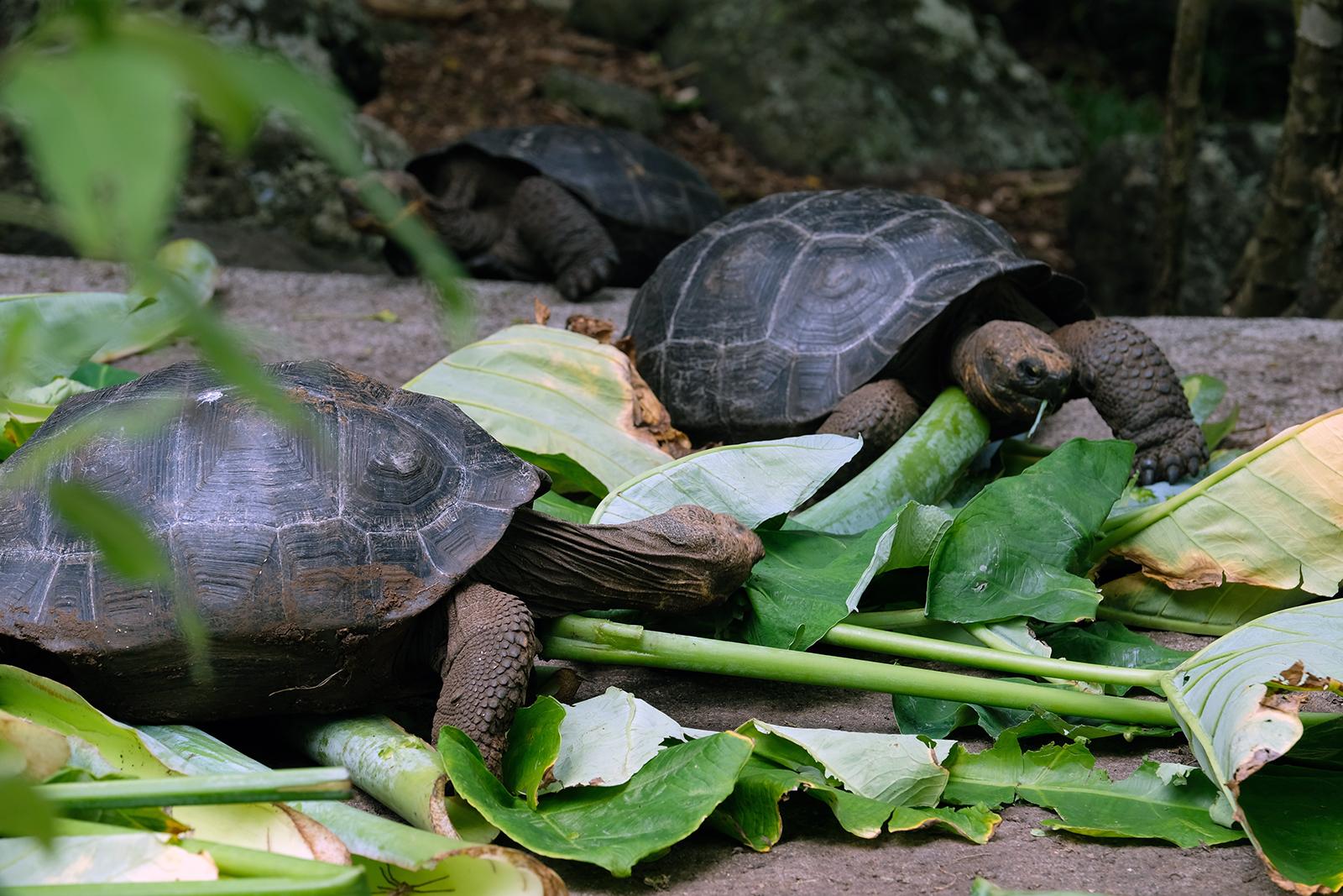 Criadero de tortugas en Isla Floreana