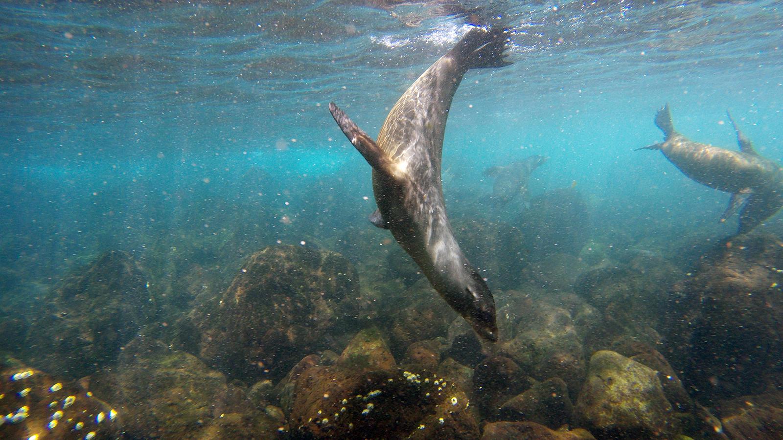 Lobos marinos en Isla Santa Fe