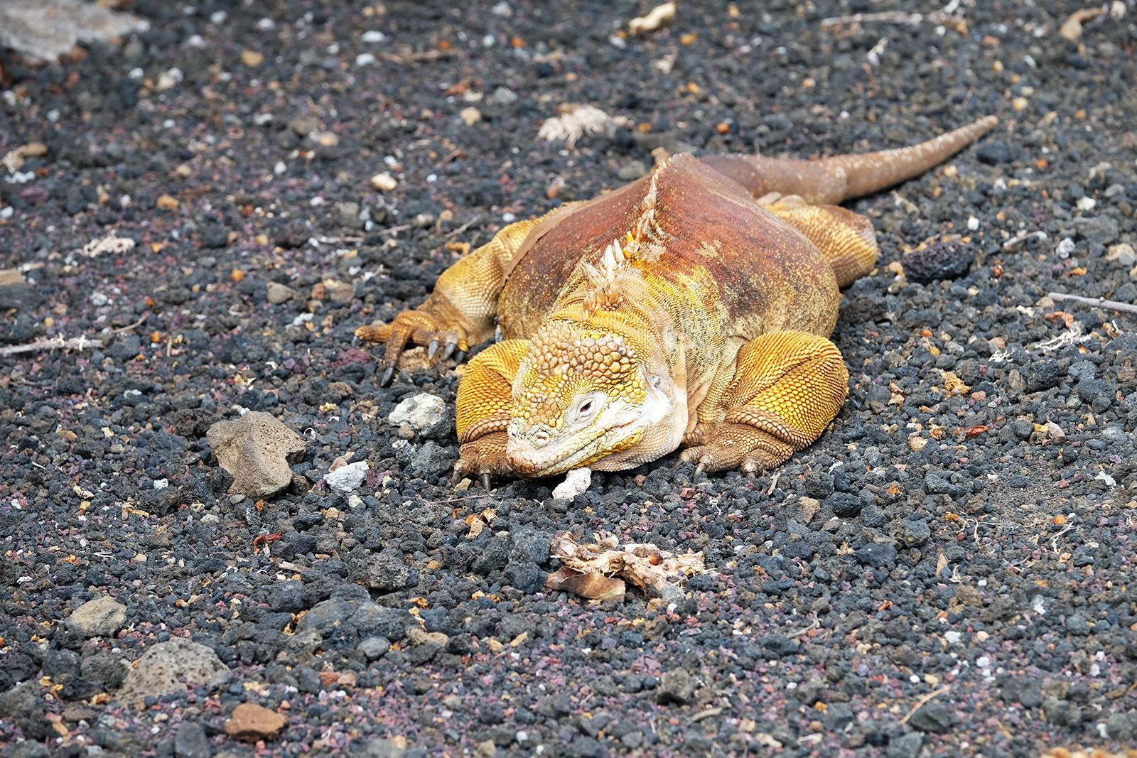 02_Estacion_Cientifica_Charles_Darwin_11_iguana_amarilla.JPG