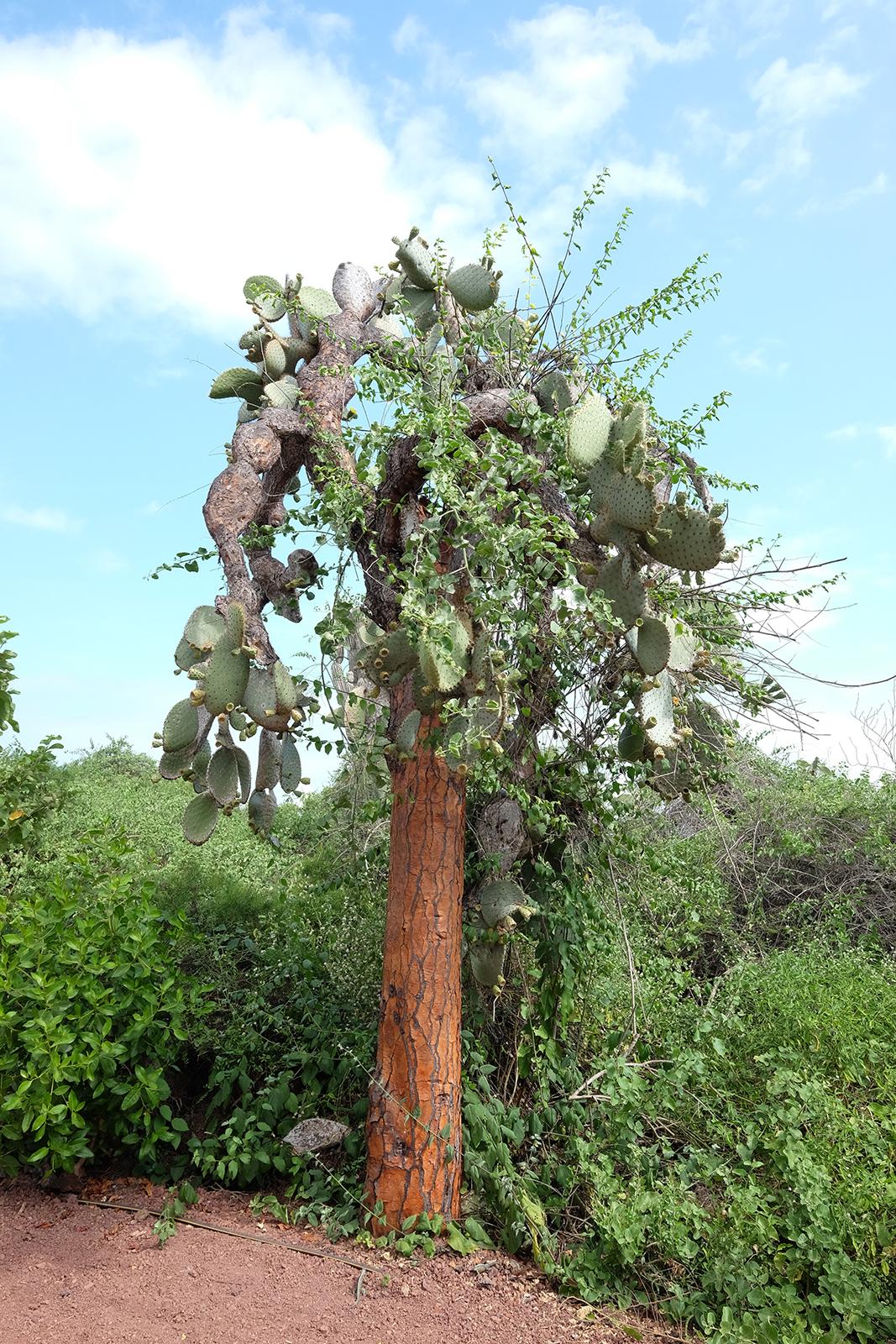 02_Estacion_Cientifica_Charles_Darwin_12_Cactus_Candelabro.JPG