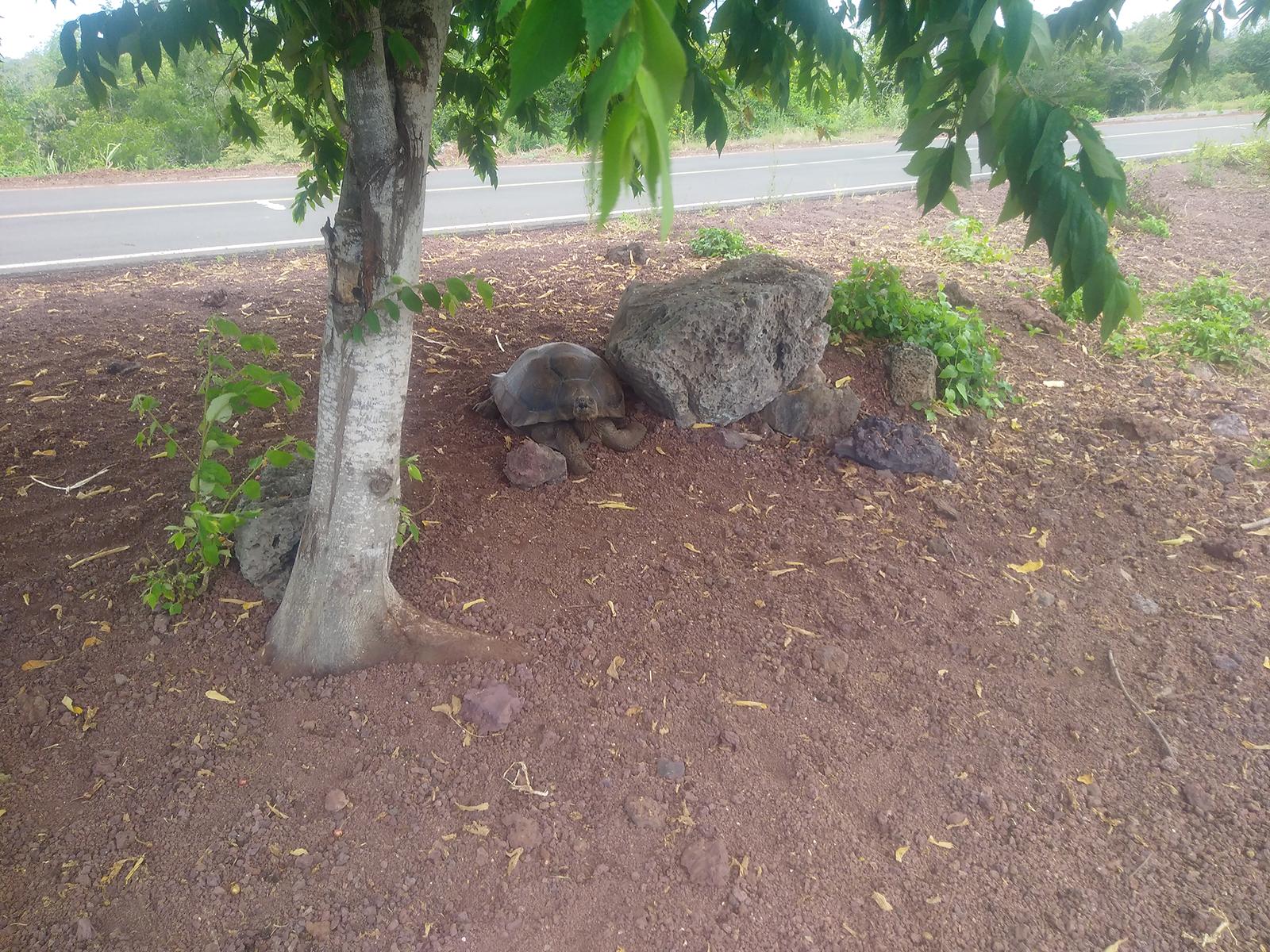 Tortuga silvestre del barrio