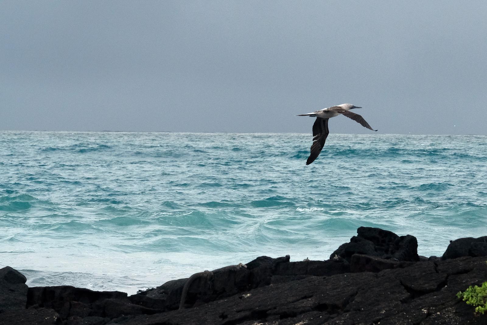 03_playa_grande_02_piquero_volando.JPG