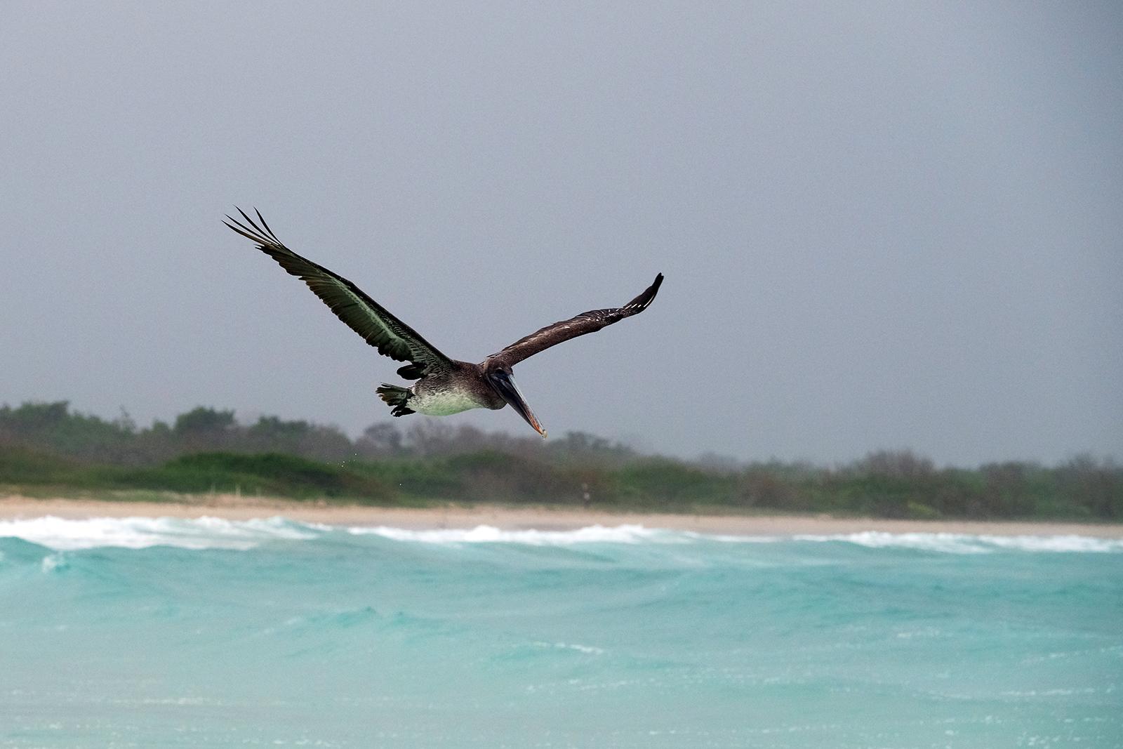 03_playa_grande_03_pelicano_volando.JPG