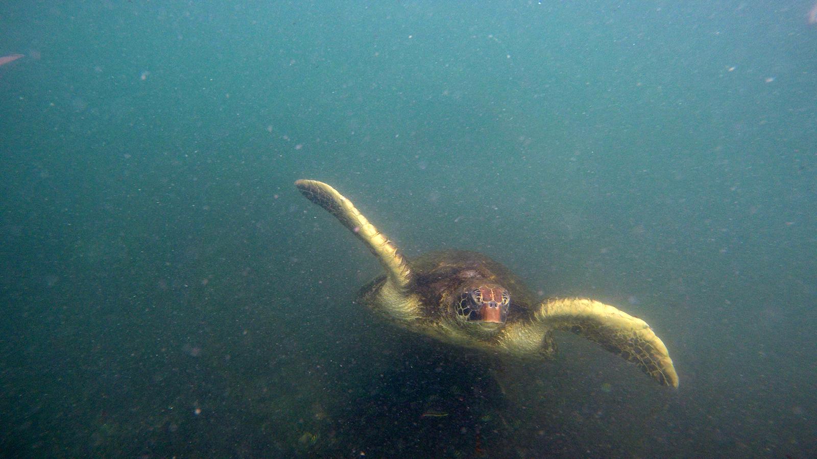 Tortugas marinas en la zona de El Finado en Cabo Rosas