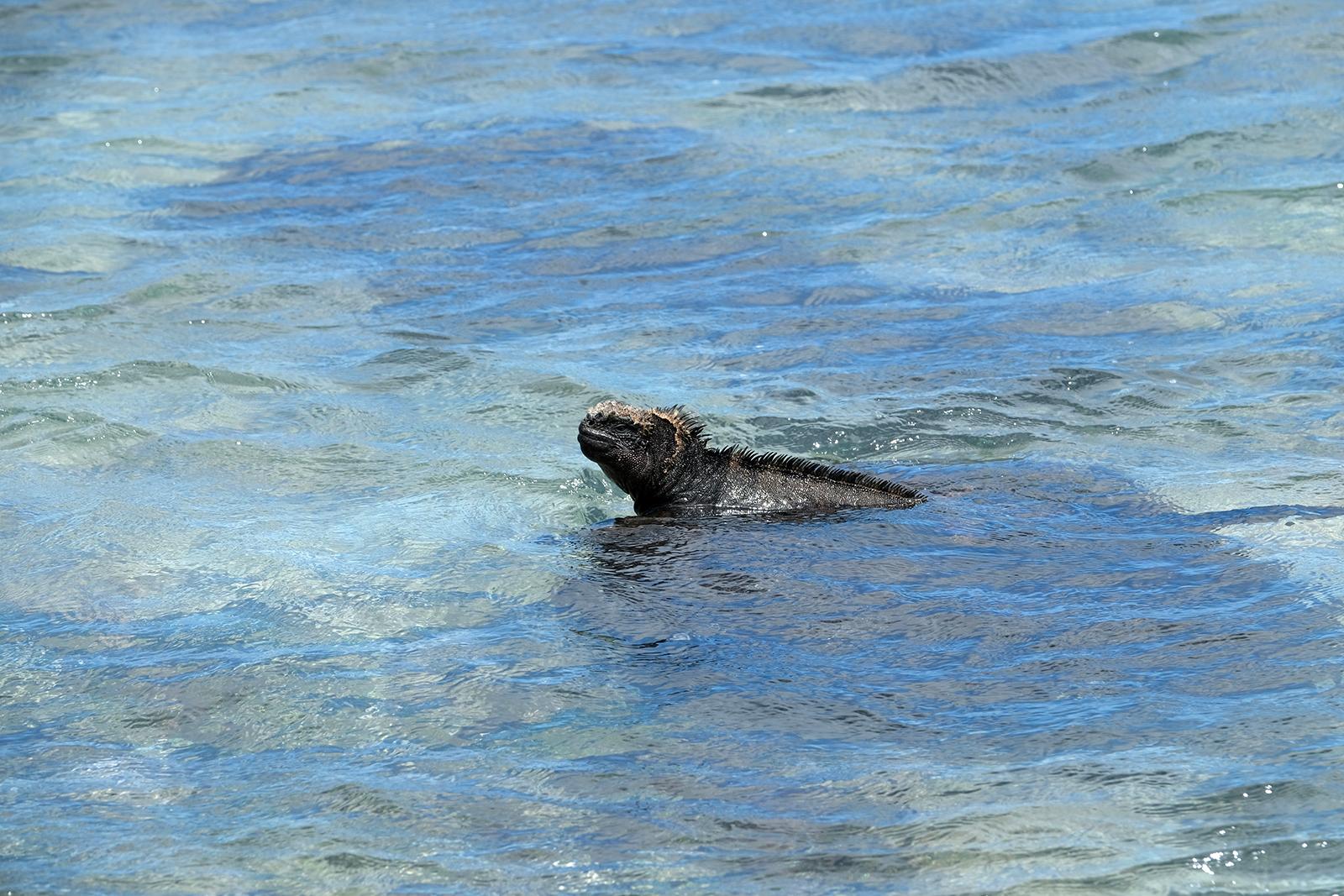 Iguanas en Playa Punta Carola