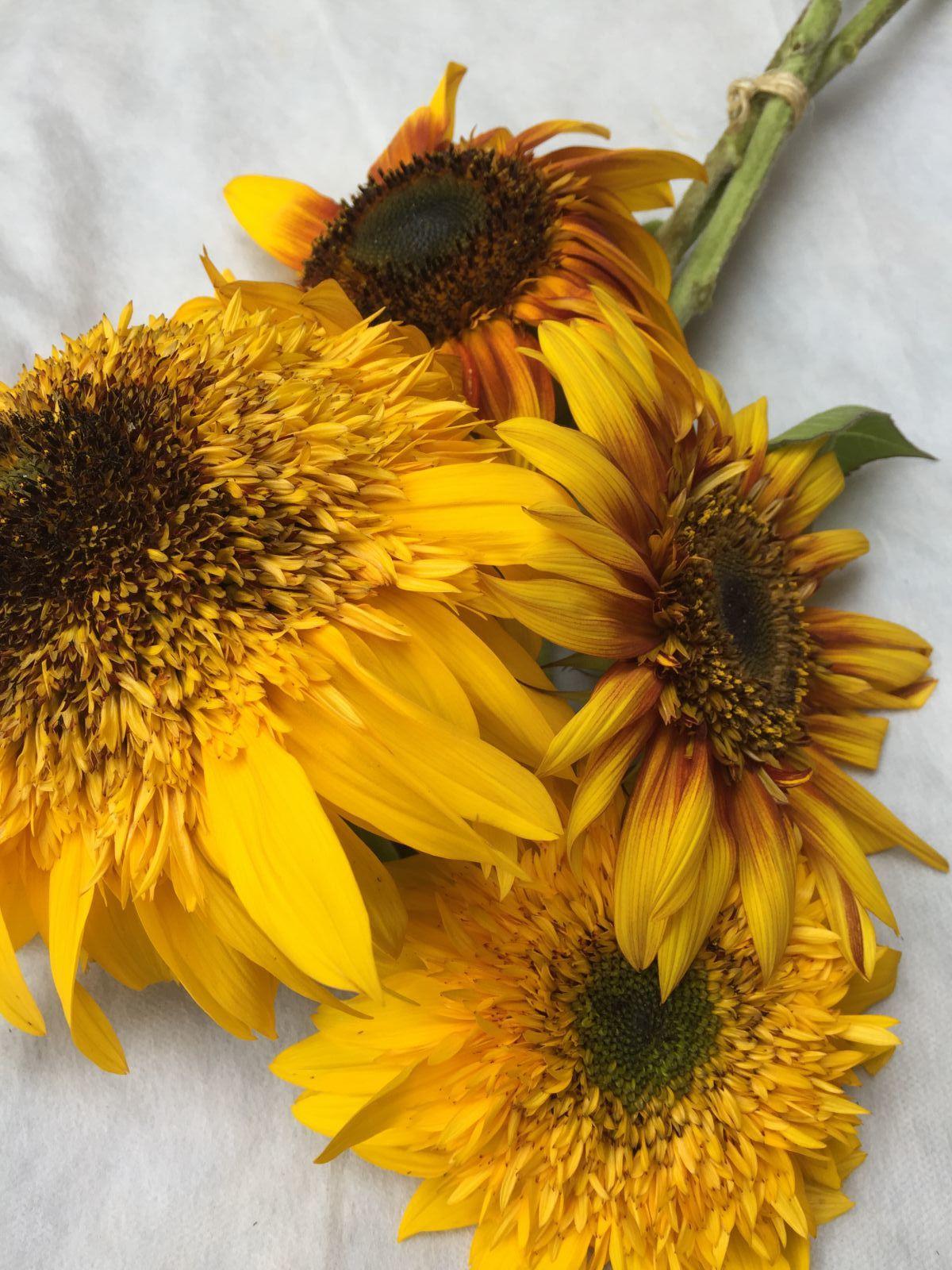 Tiger Teddy Sunflower
