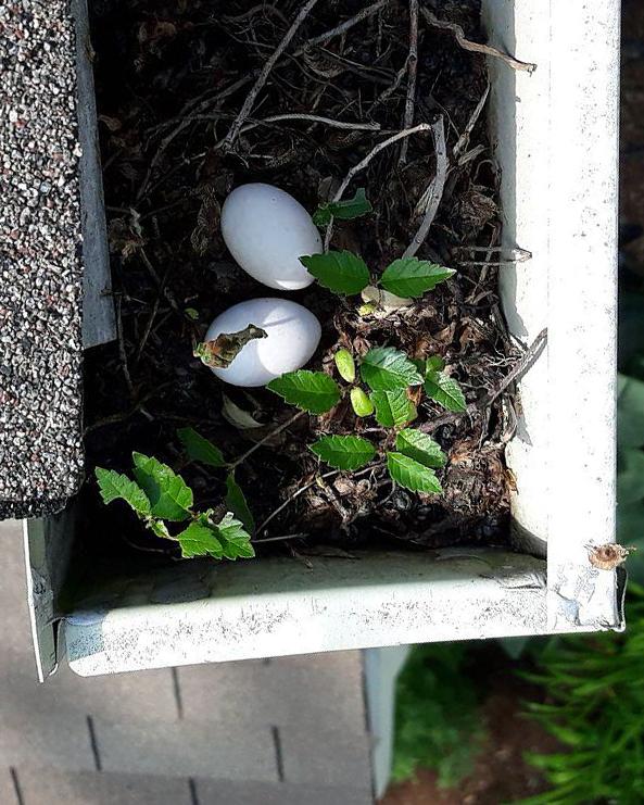 Gutter cleaning Chicago-Birds Nest-Guaranteed Gutters.jpg