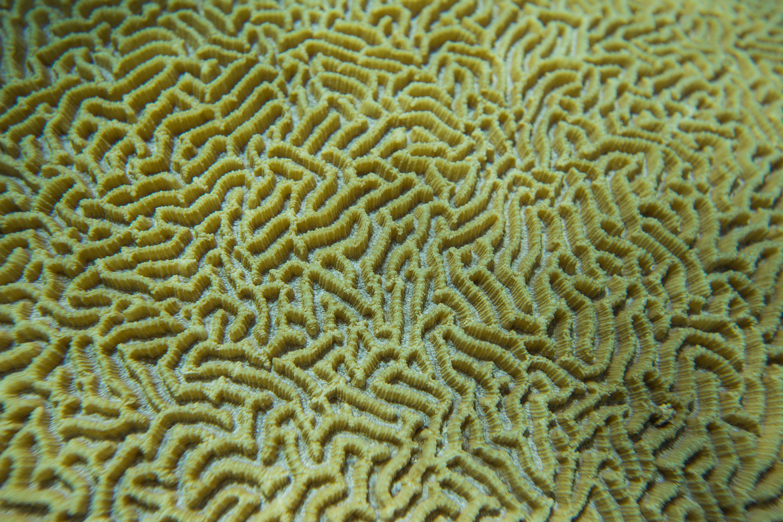 Coral Maze Macro Lady Musgrave_.jpg
