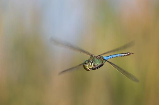 A Common Green Darner in flight © Pieter van Dokkum