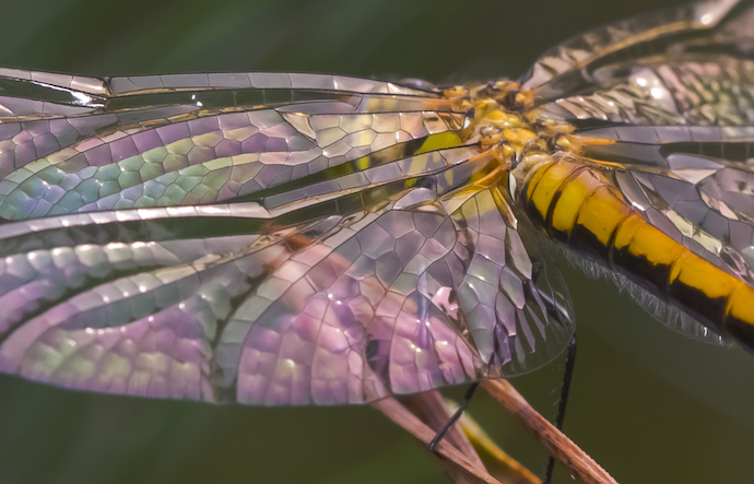 The wings of an immature Black Meadowhawk © Pieter van Dokkum