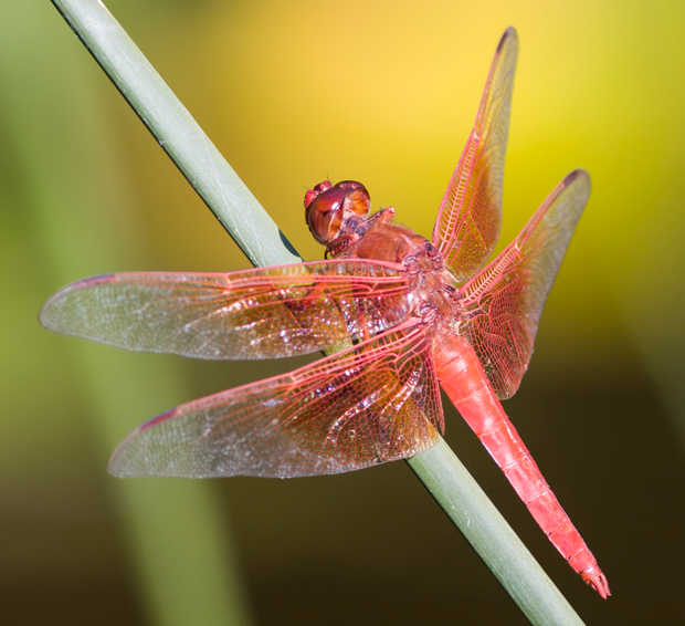 A male Flame Skimmer © Pieter van Dokkum