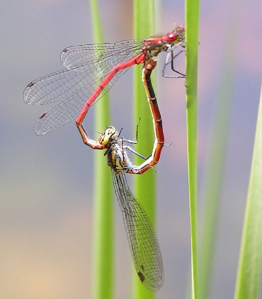 A dragonfly mating wheel (Wikimedia Commons)