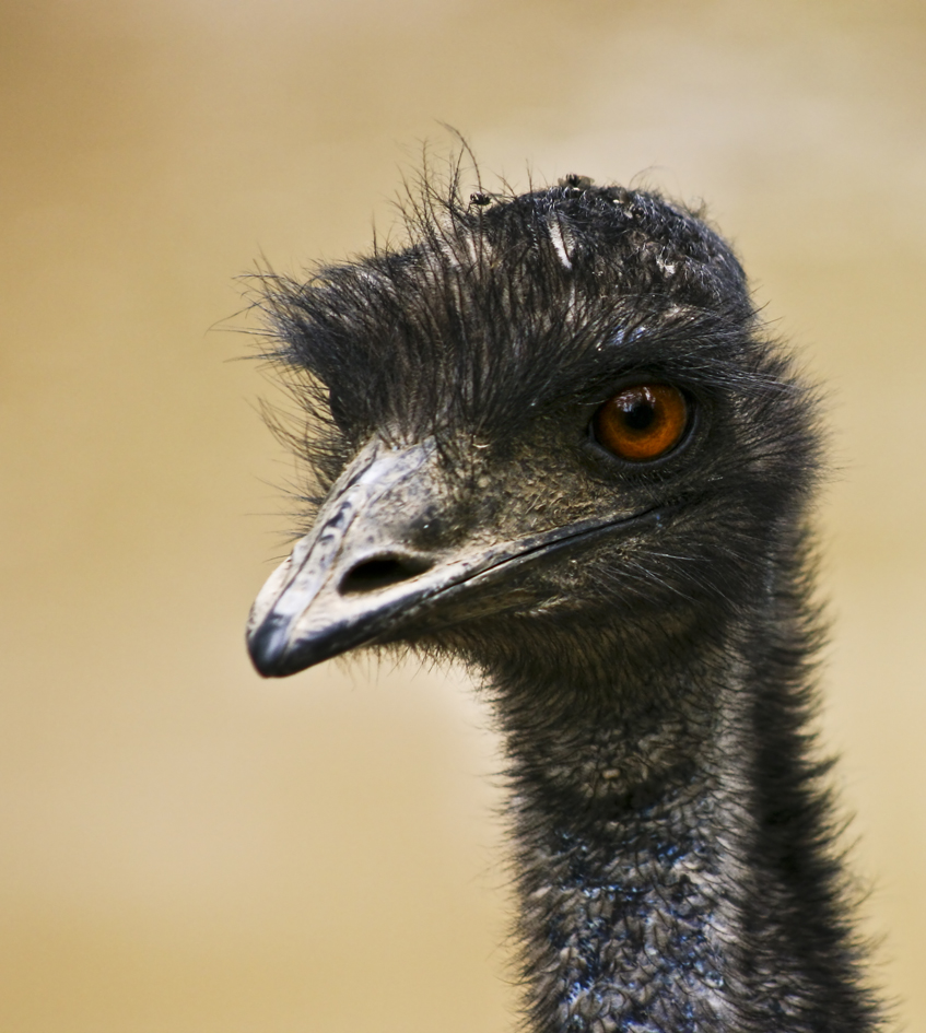 Whilst seeming relatively harmless, Emus provided a significant ecological threat to farmers