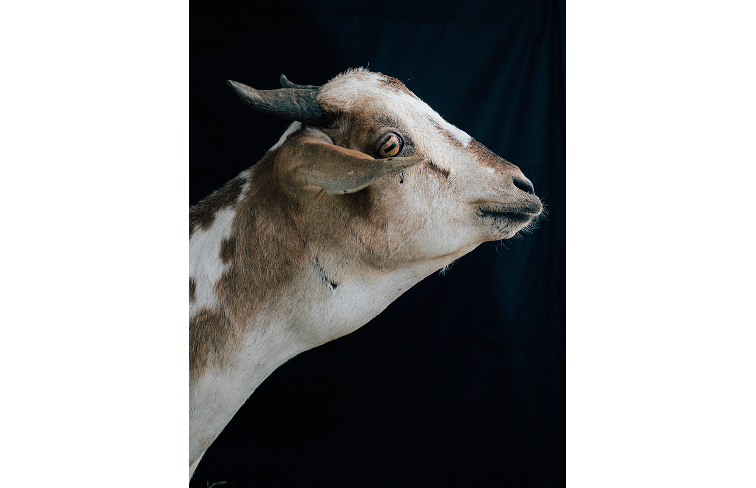 ijfkeridgley-oman-goat-portrait1.jpg