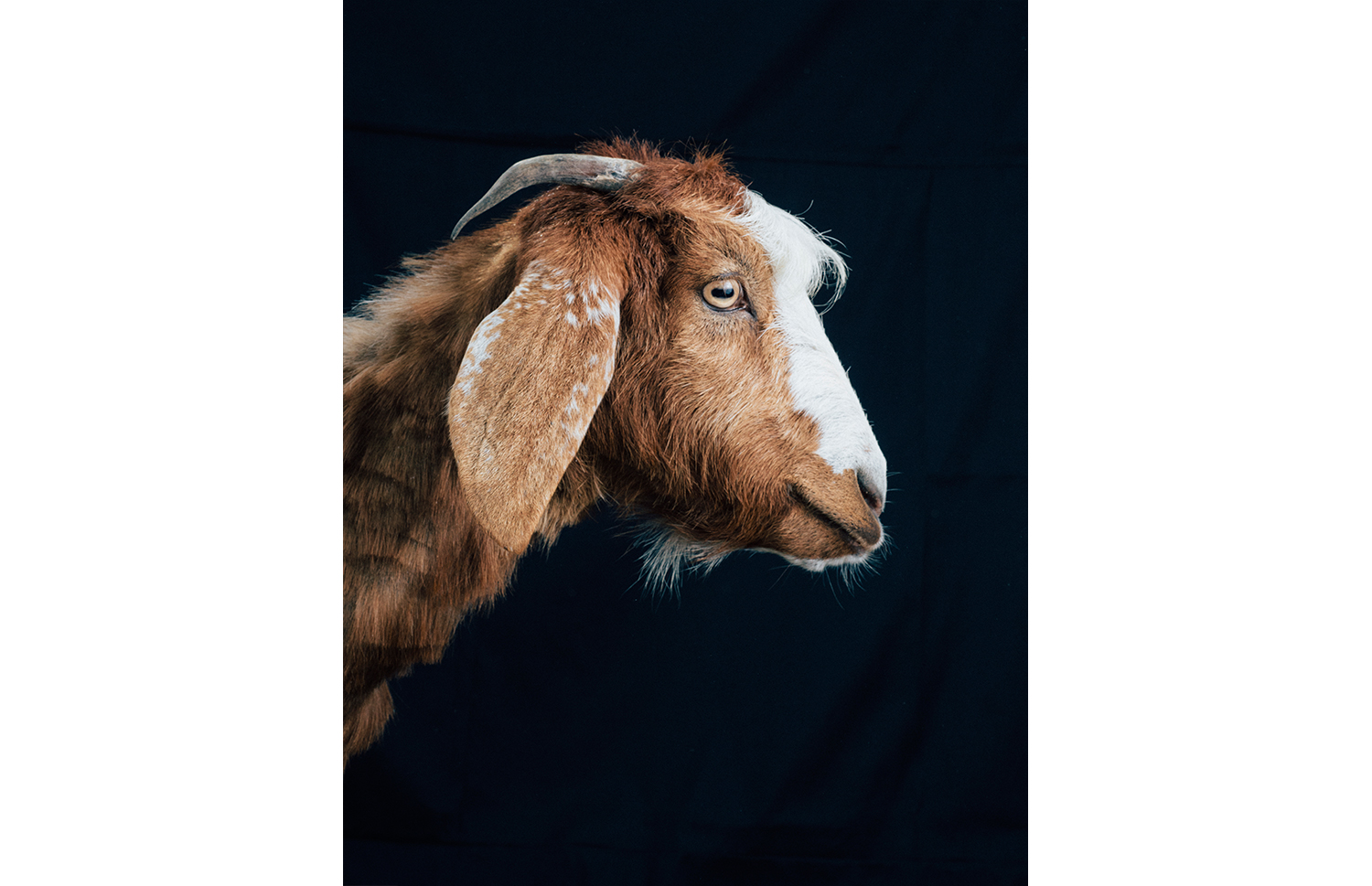 ijfkeridgley-oman-goat-portrait7.jpg