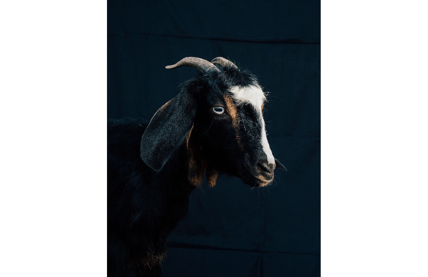 ijfkeridgley-oman-goat-portrait9.jpg