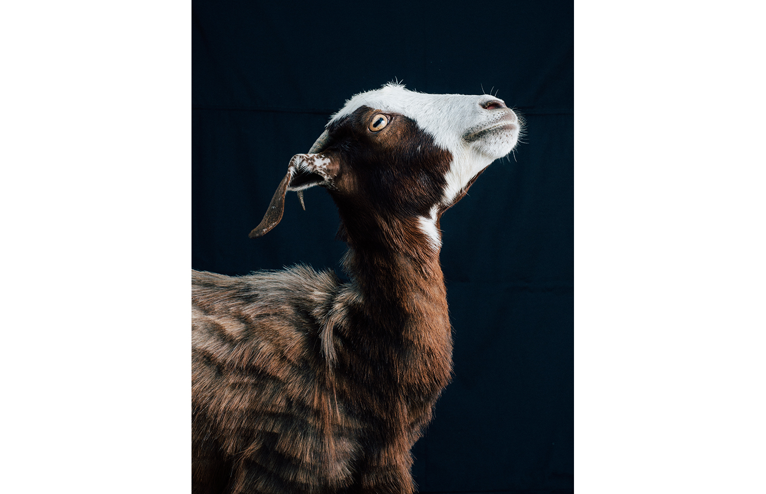 ijfkeridgley-oman-goat-portrait10.jpg