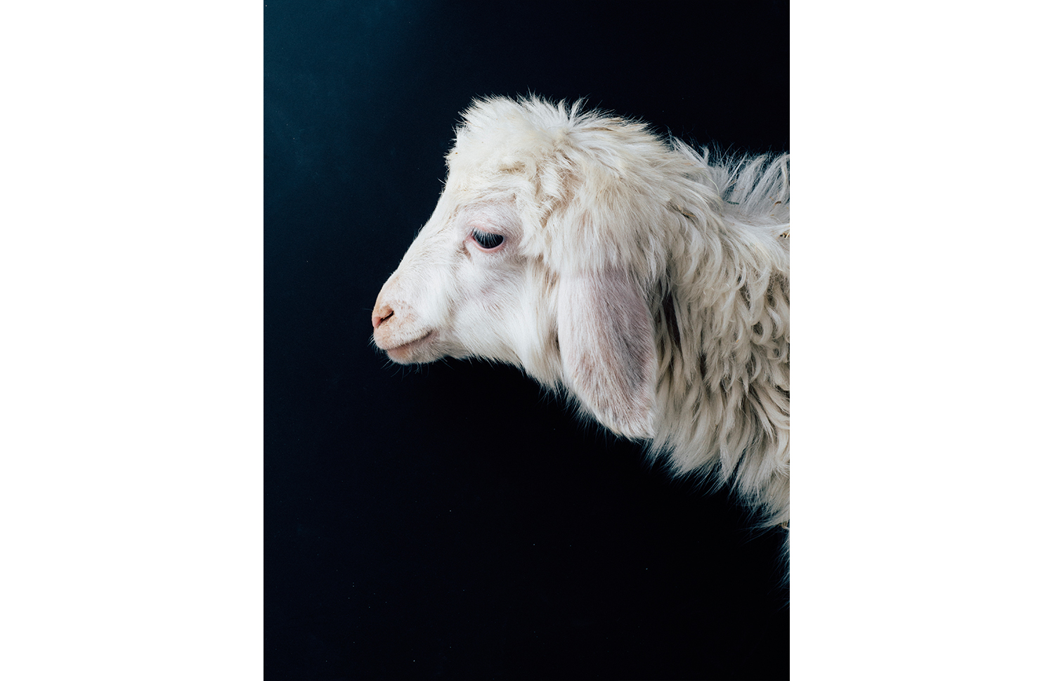 ijfkeridgley-oman-goat-portrait12.jpg