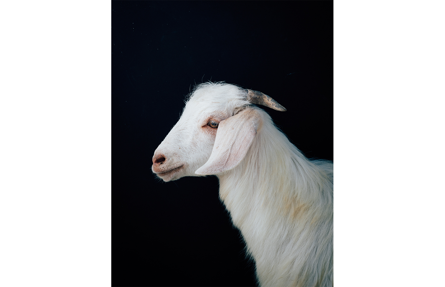 ijfkeridgley-oman-goat-portrait13.jpg