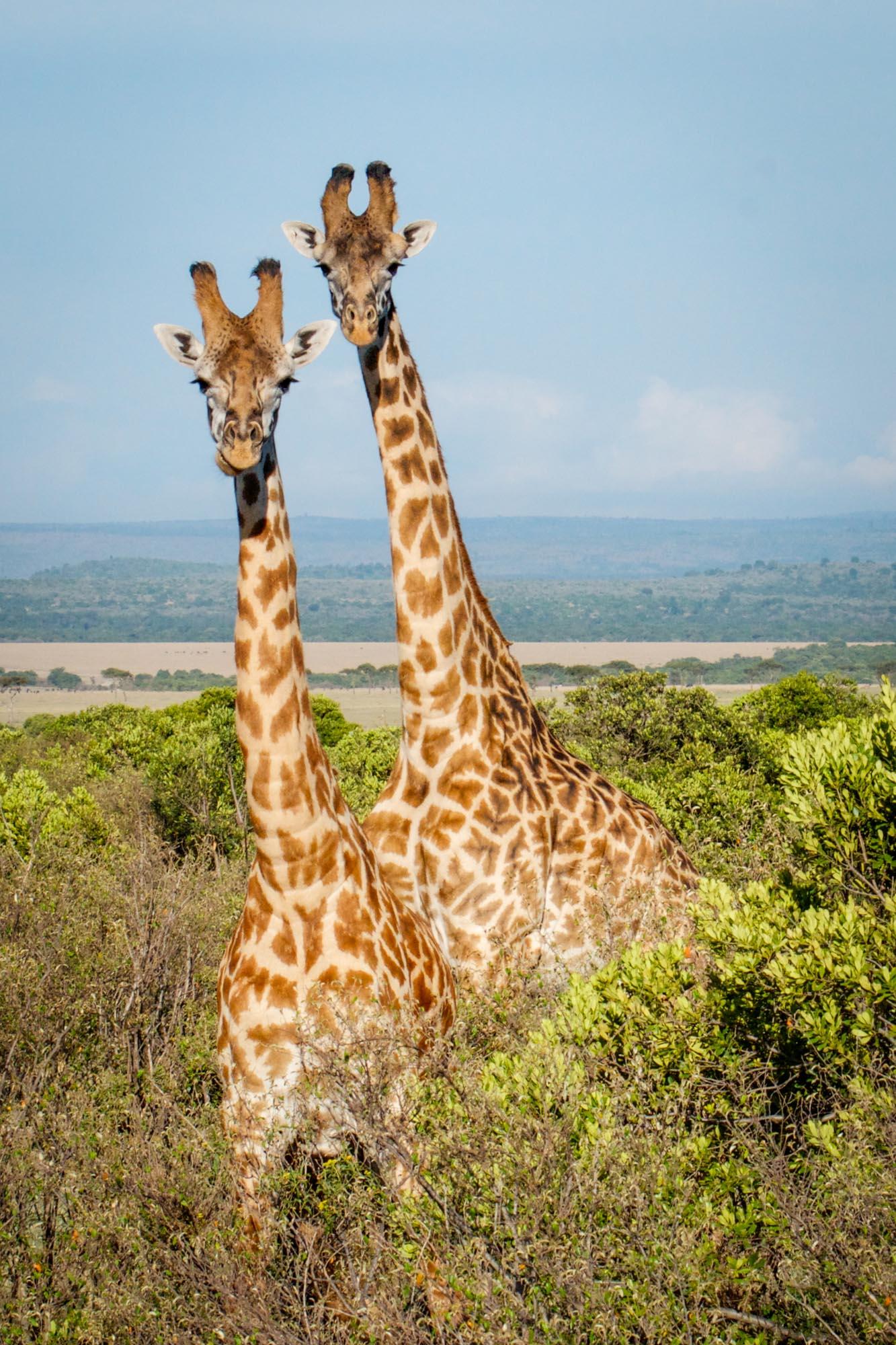 2giraffes-mara-kenya-2012-10-26.jpg