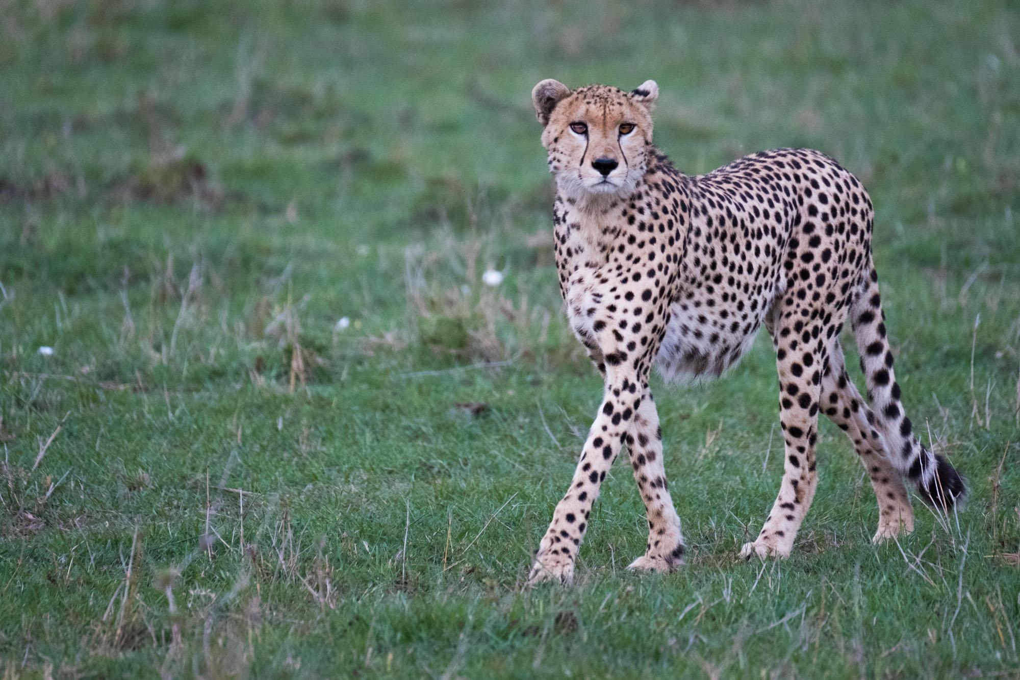 cheetah-mara-kenya-2018-01-12.jpg.jpg