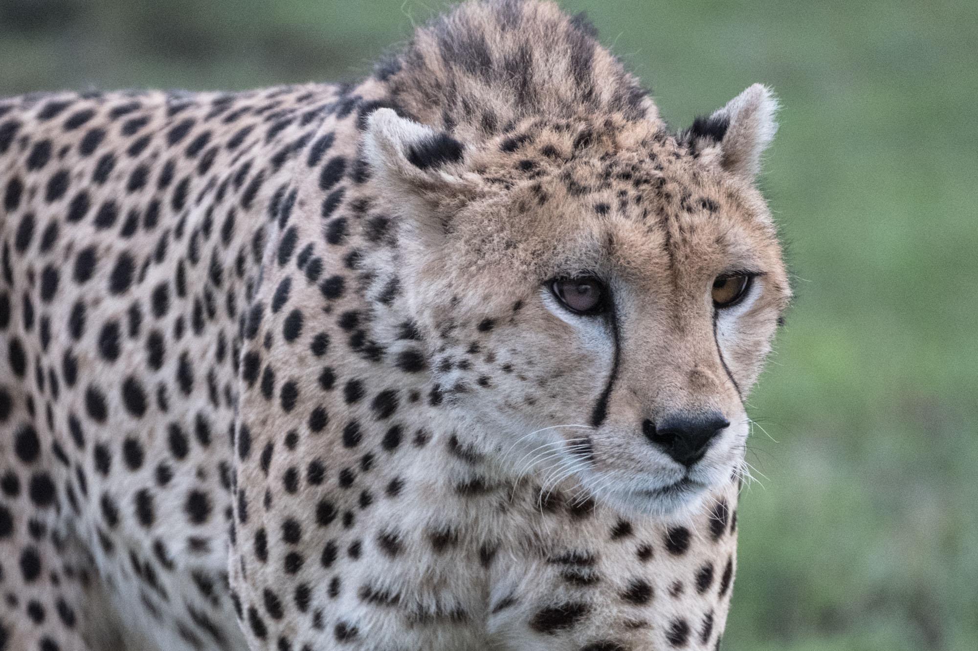 cheetah-mara-kenya-closeup-hunt-5x7-card-2018-01-12.jpg