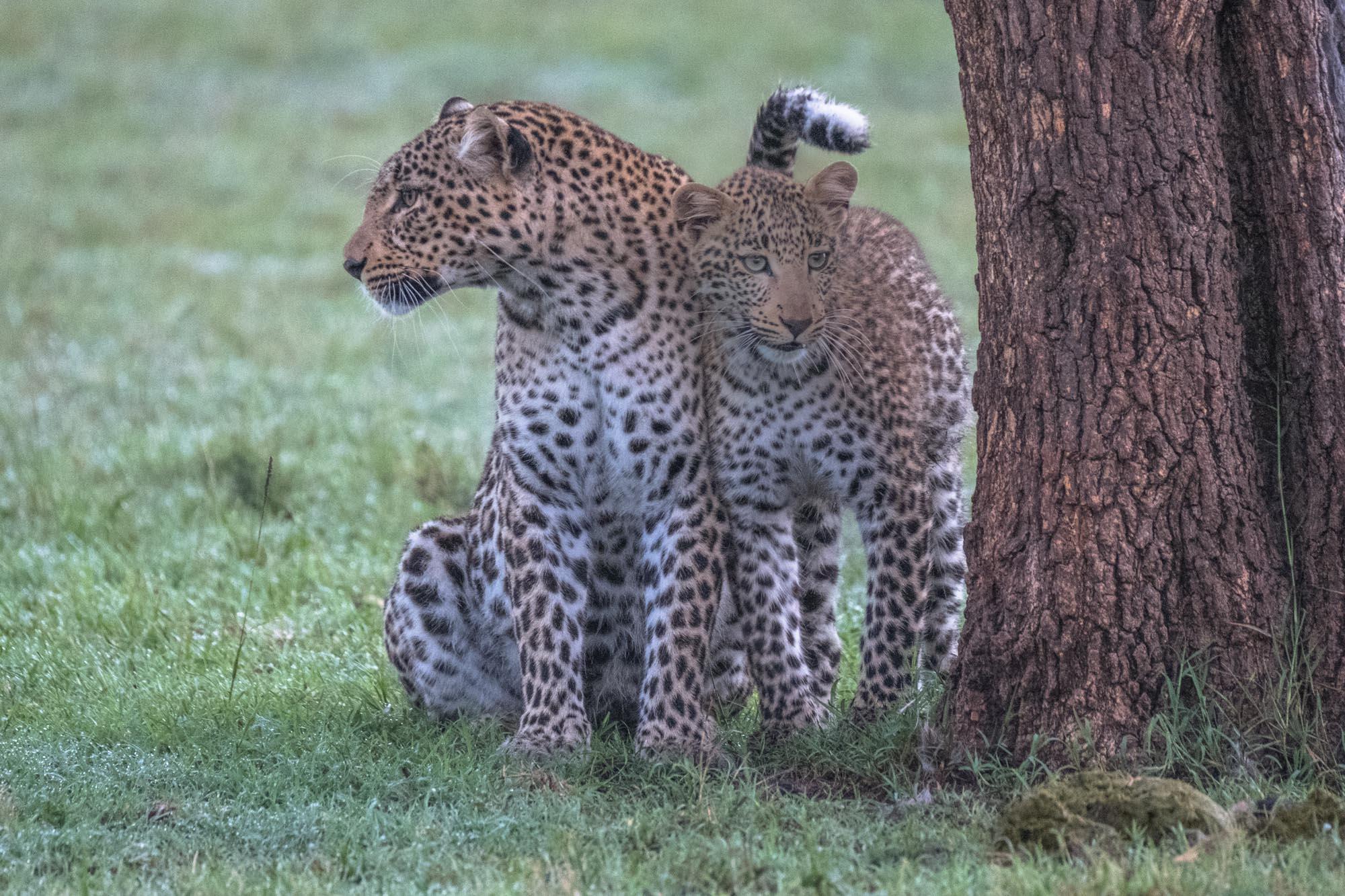 fig-cub-leopard-mara-kenya-5x7-card-2018-01-13.jpg
