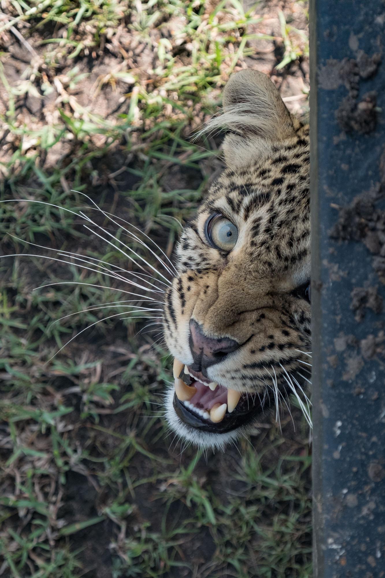 fig-leopard-closeup-eye-to-eye-mara-kenya-2018-01-14.jpg