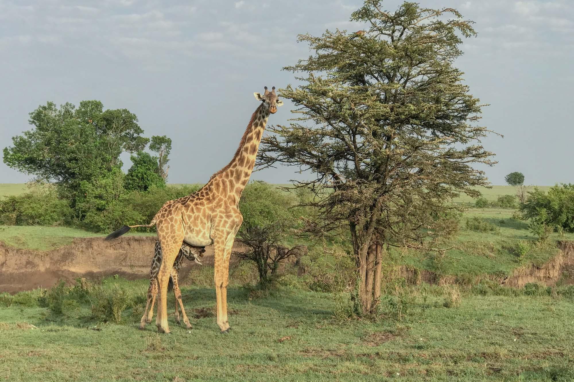 giraffe-mara-suckling-mother-kenya-2018-01-13.jpg