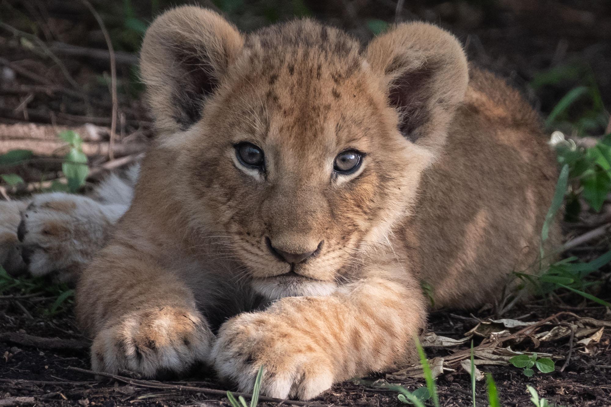 lion-cub-closeup-mara-kenya-2018-01-14.jpg