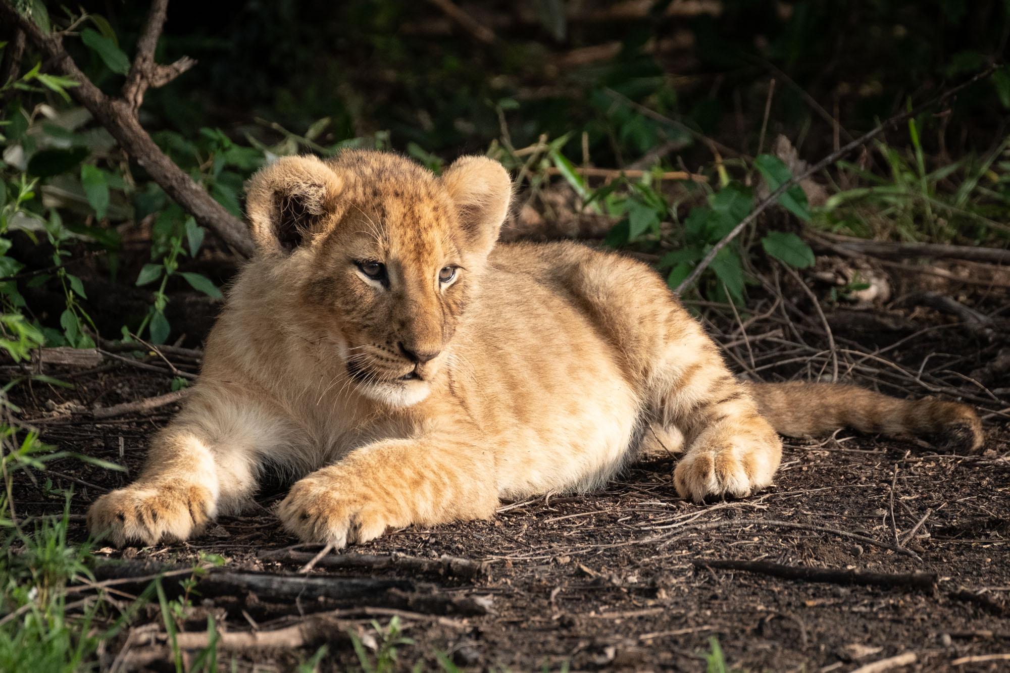lion-cub-light-mara-kenya-2018-01-14.jpg