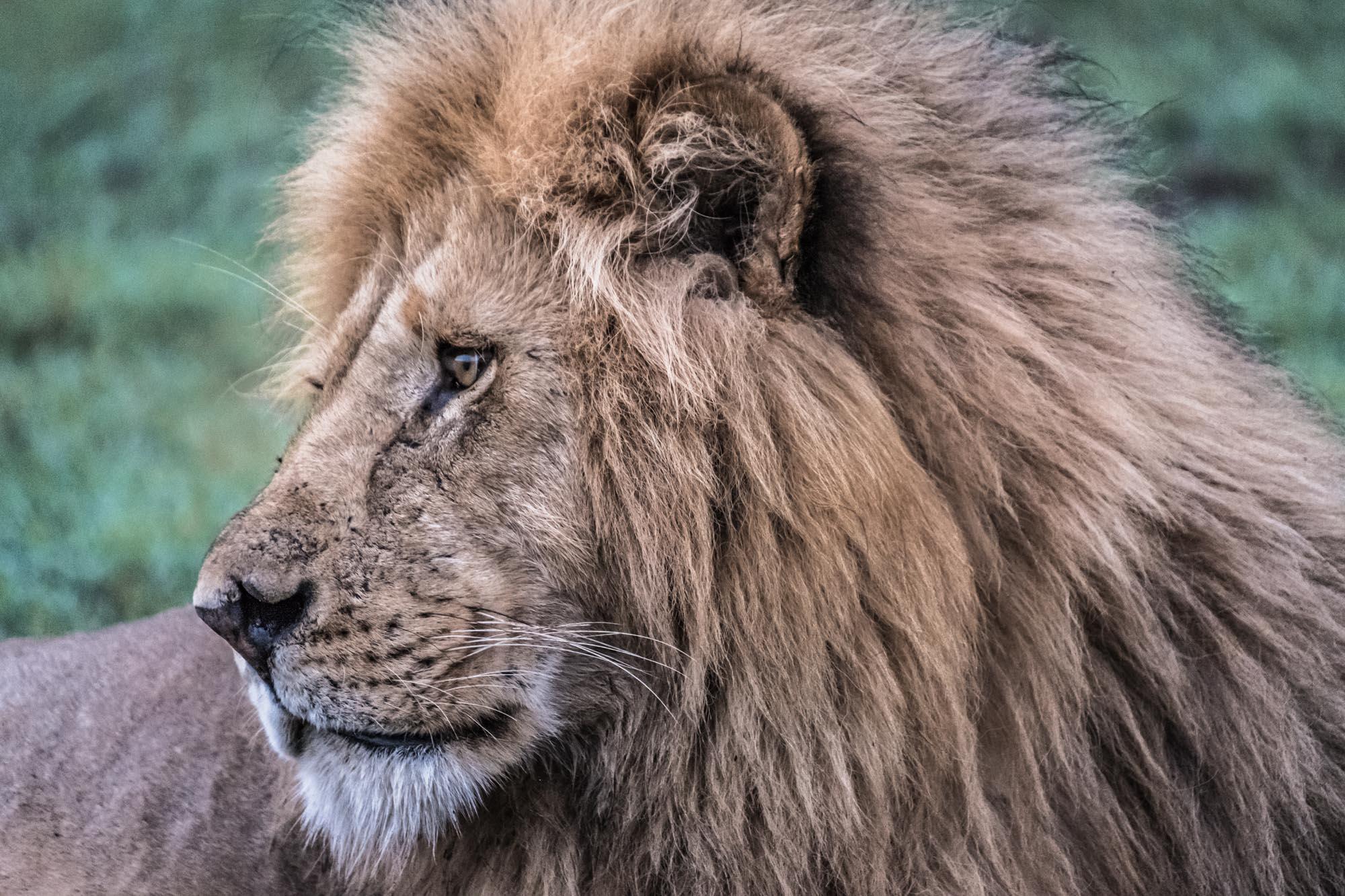 lion-king-mara-kenya-2018-01-15.jpg