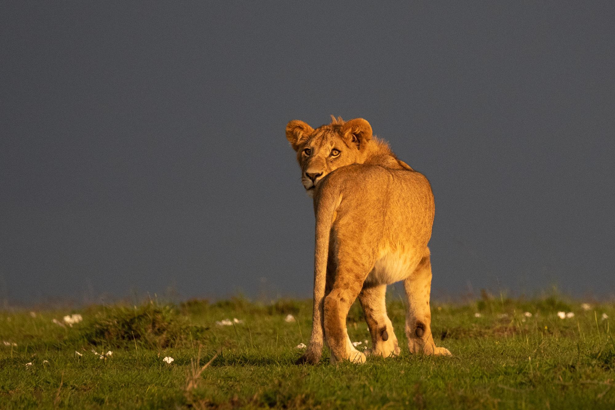 lion-male-sunset-mara-kenya-2018-01-14.jpg