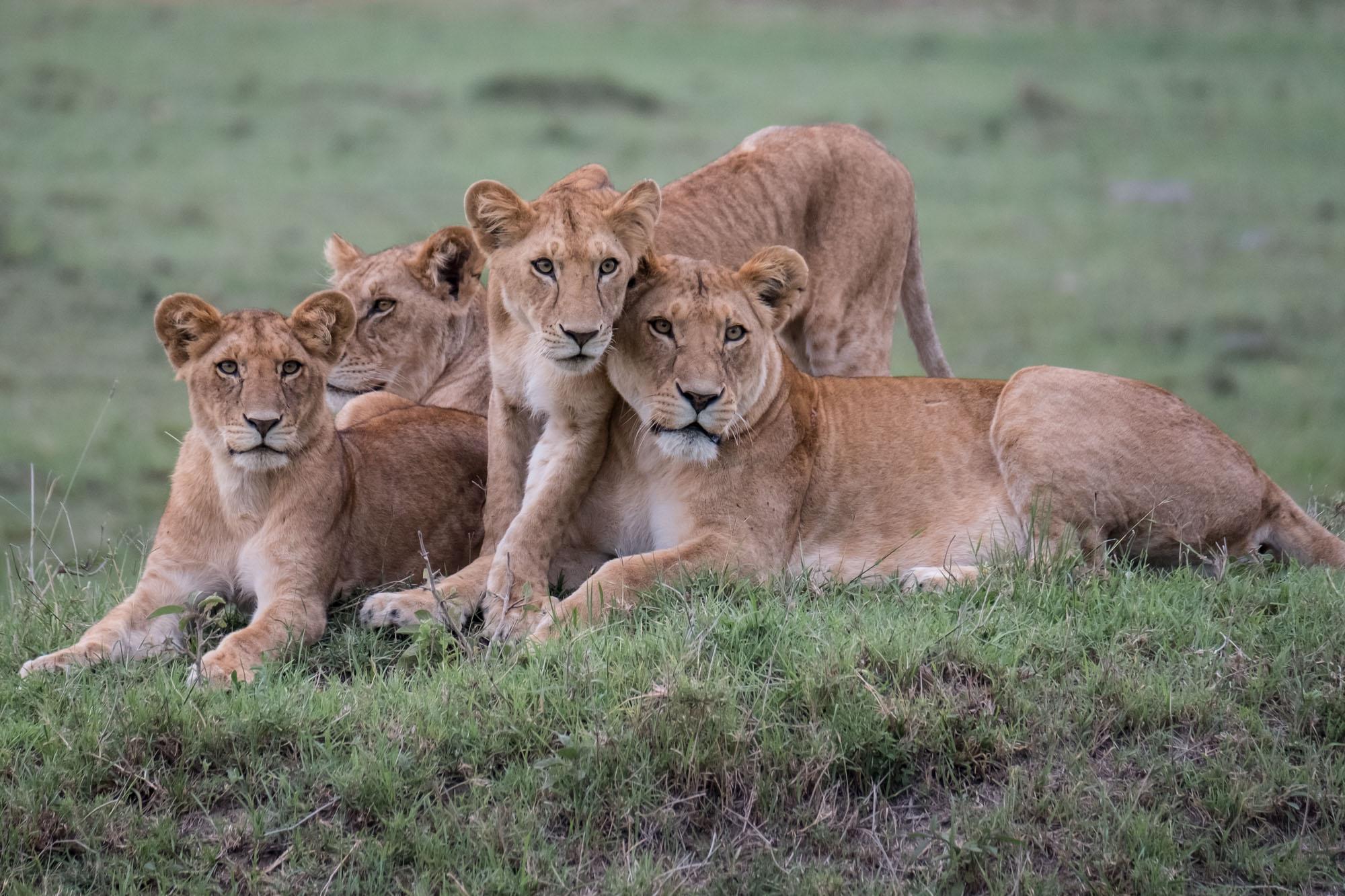 lions-family-portrait-mara-kenya-2018-01-12.jpg