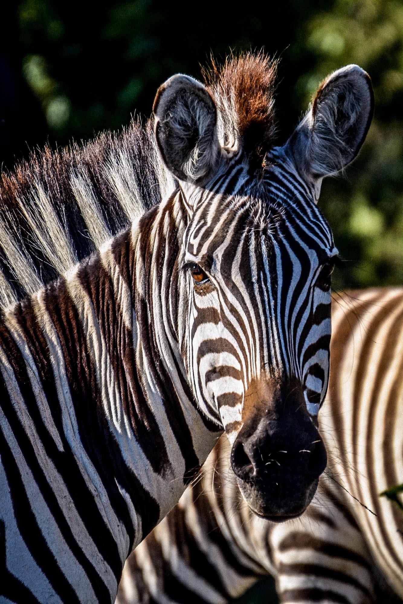 zebra-bw-headshot-mara-kenya-2011-10-26.jpg